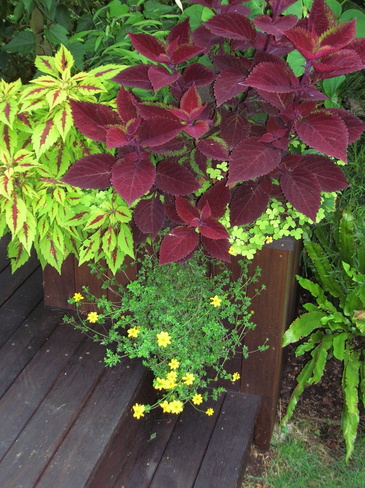 Gardening: They Aren't Your Grandmother's Coleus